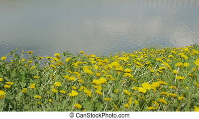 Beautiful dandelions on the river bank.