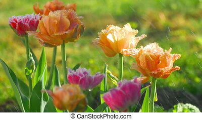 Terry tulips after rain - Multilobed, terry orange and...