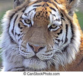 Hypnotic Eyes - Close crop of an Amur tigers face