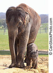 Motherly Love - Asian elephant keeping a watchful eye on her...