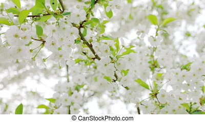Close up cherry blossoms in spring - Cherry blossoms in...