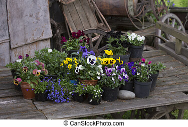 Colorful spring flowers in flower pots in old wooden cart -...
