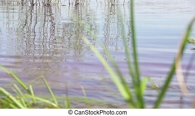 Small waves on the pond and away the young branches of the...