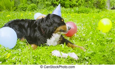 A dog in festive cap eating a bone - Dog's birthday. A dog...