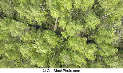 Aero view from drone on the birch wood in the summer sunny...