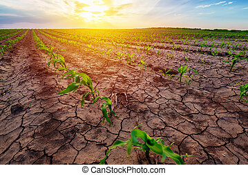Young corn growing in dry environment, drought season on...