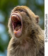 Gibraltar Monkey - A Gibraltar Barbary Macaque monkey that...