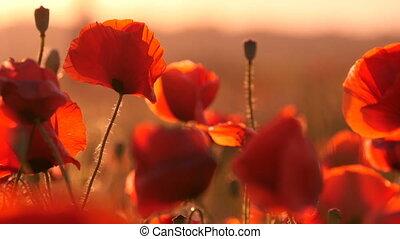 Amazing poppy field under the rays of a splendid sunrise in...