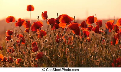 Red poppies impress with their beauty in a Ukrainian field...