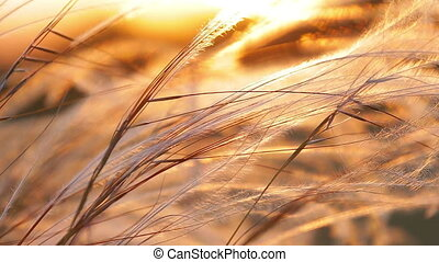 Beautiful sunset light with stipa plant on the meadow