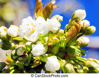Apricot blossom closeup - Apricot flowers and leaves on...