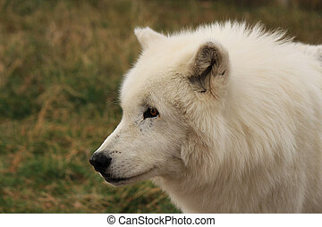 White Wolf Wyoming - White wolf away from her pack