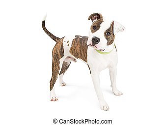 Attentive Staffordshire Terrier Dog Isolated on White