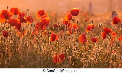Nice red poppies with tender petals  waving under the blows of wind at sunrise