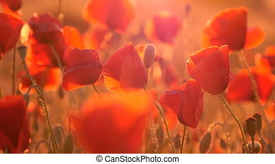 Red poppies with tender petals are waving under the blows of wind at sunrise