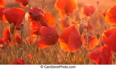 A field of red poppies waving slightly under the sunrise rays in Ukraine