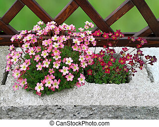 Background with saxifrage.