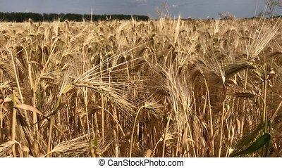 Ripe ears of wheat on a summer