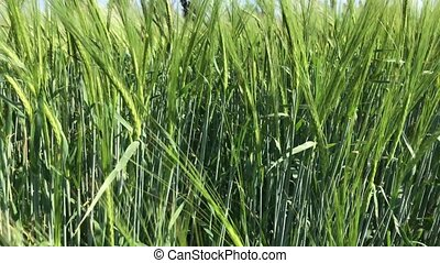Green ears of wheat, agricultural field