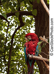 Green wing macaw Ara chloropterus is a colorful bird found...