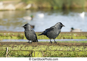 Two crows (Eurasian Jackdaw) sitting next to each other.