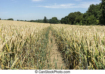 Wheat in field with tractor tracks.