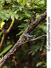 Turquoise tanager known as Tangara mexicana can be found...