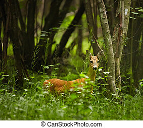 Roe deer in the forest - Roe deer in high grass at the...
