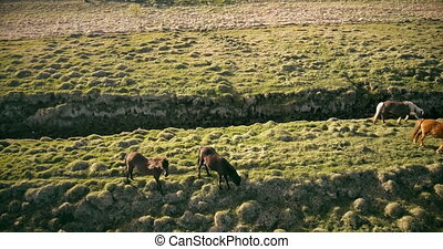 Aerial view of the beautiful horses grazing on the green meadow. Copter flying over the lava field in Iceland.
