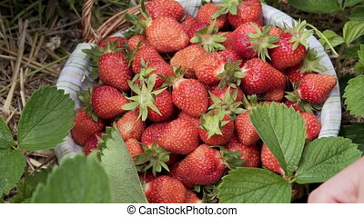 pick ripe strawberries from the bushes.