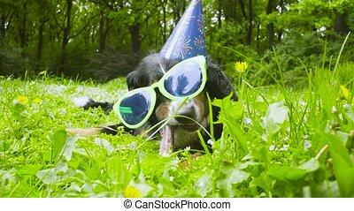 A dog in festive cap eating a bone - Dog's birthday. A dog...