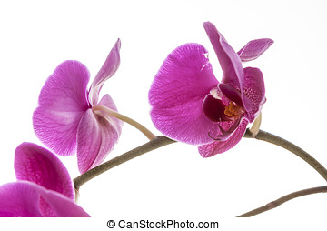 Brightly lit purple orchids. - A close up fine art image of...