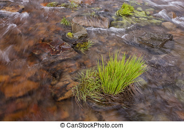 Clump of grass in water. - The water of Canyon Creek rushes...
