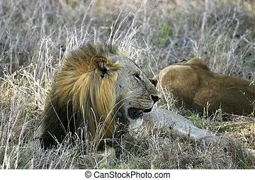 Lion Yawning - A male lion yawning in Mikumi Park Tanzania...