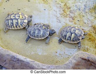 babies turtles hermann - three babies turtles hermann in a...