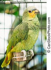 Orange-winged Amazon Or Amazona Amazonica, Also Known...
