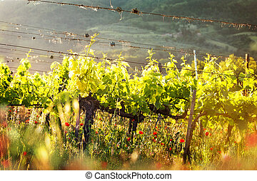 Grape Vines in Morning Light - Grape vines in a field with...