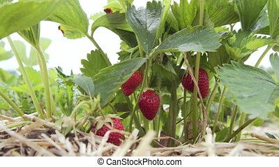 strawberry hanging on the vine, Sunny weather.