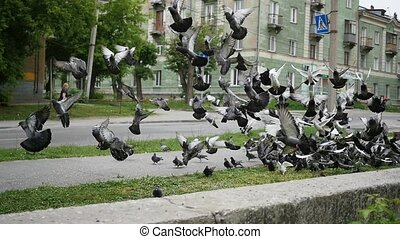 A flock of urban pigeons take off all together - A flock of...