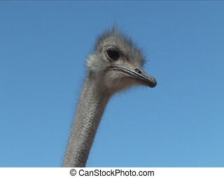 Ostrich - Close up of a head of ostrich South Africa