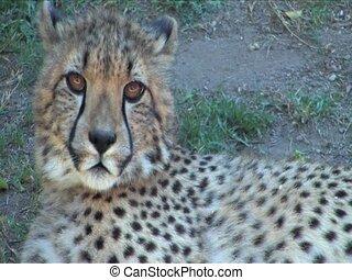 Close up of Cheetah - Close up of young Cheetah in Etosha...
