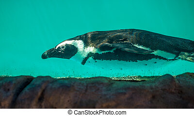 African penguin swims in the water in the Tbilisi zoo, the...