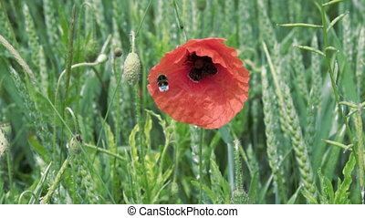 the bee flies near the poppy flower close-up, slow motion.
