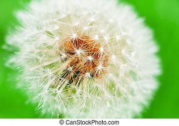 fiore dente di leone macro con sfondo verde
