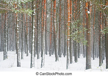 pine trees in winter forest in the fog