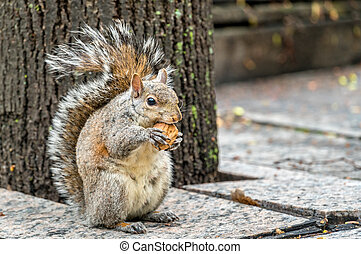 Eastern gray squirrel eats a walnut on Trinity Square in...