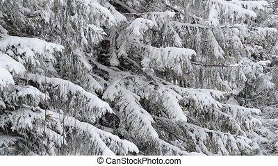 Winter fir tree close-up