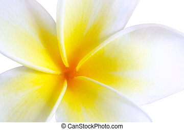 Plumeria frangipani, in close-up Glorious white and golden...