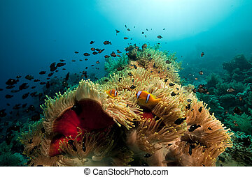 Anemone and fish in the Red Sea.