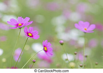 beautiful pink cosmos flower against natural green blur...